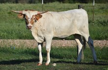 RJF Awesome Trixie X CTC - H Calf - Tag 942